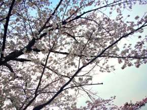 seeing-sakura-in-japan