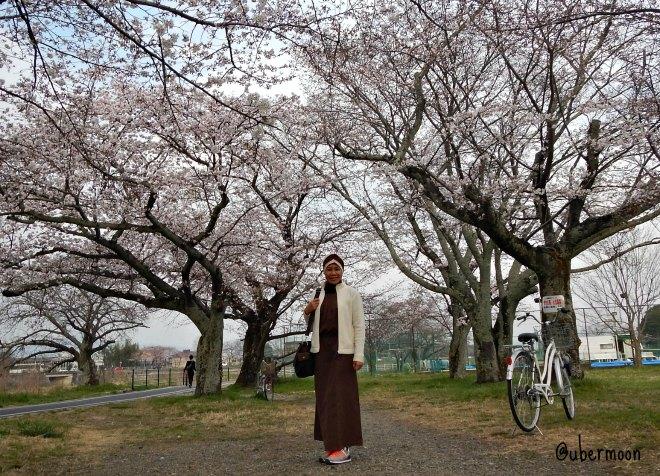 sakura-at-arashiyama
