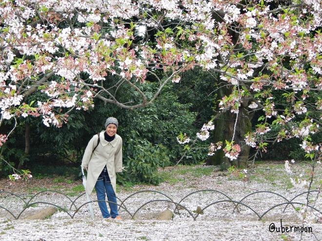 sakura-blooming-at-shinjuku-gyoen