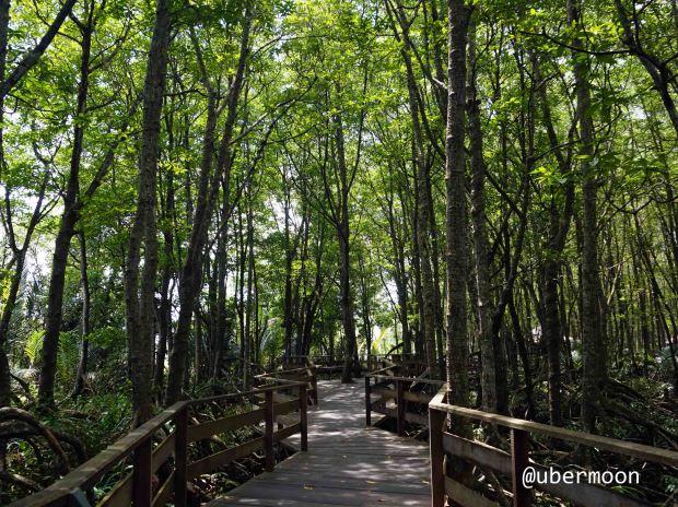 mangrove-forest-tuaran-sabah-malaysia