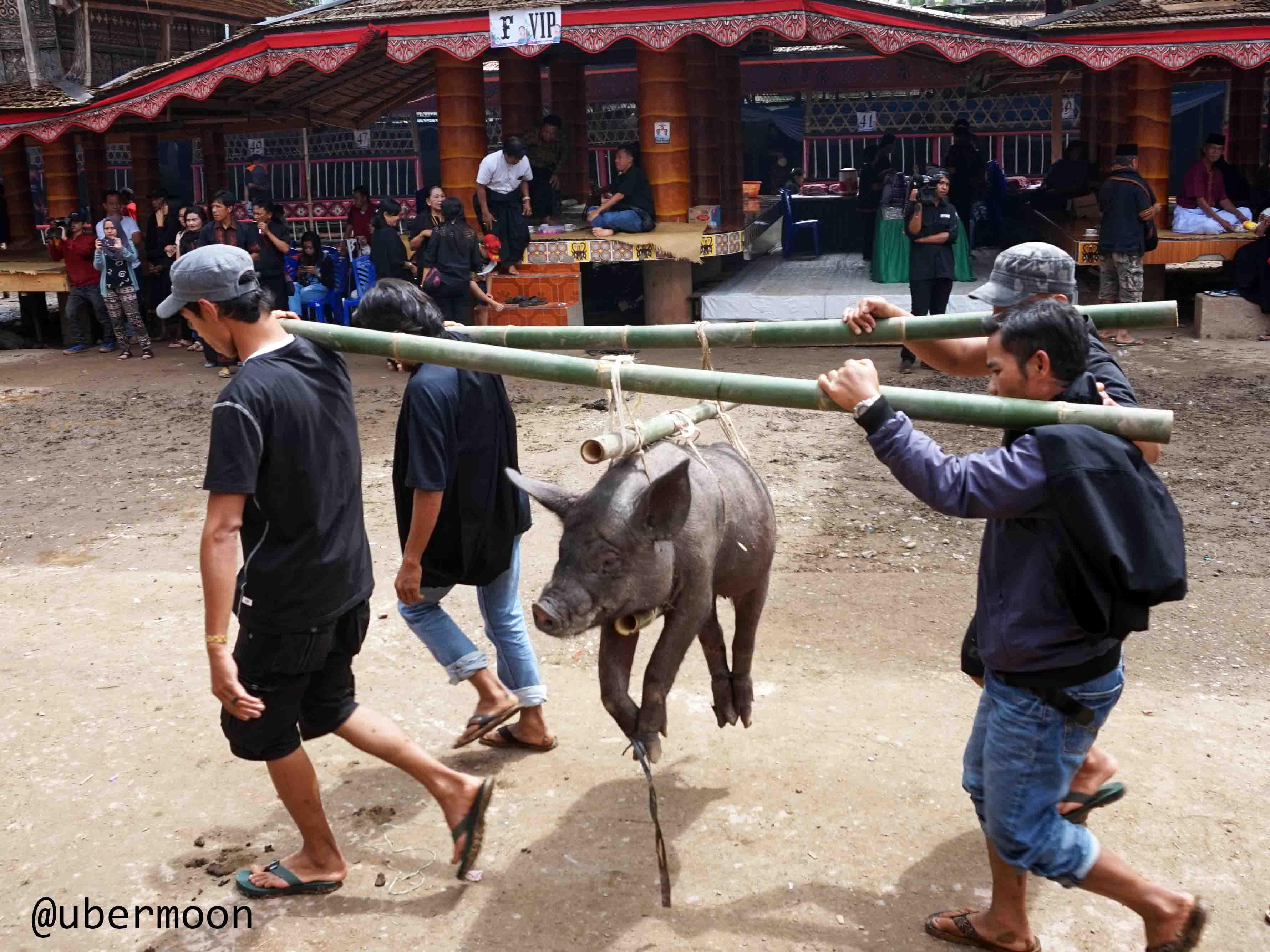 babi-dalam-upacara-rambu-solok